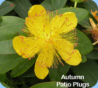 Autumn Patio PLugs - Hypericum